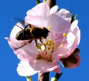 pollen allergens