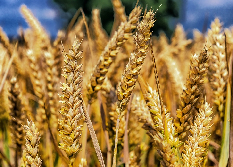 Grain-induced Allergic Reactions